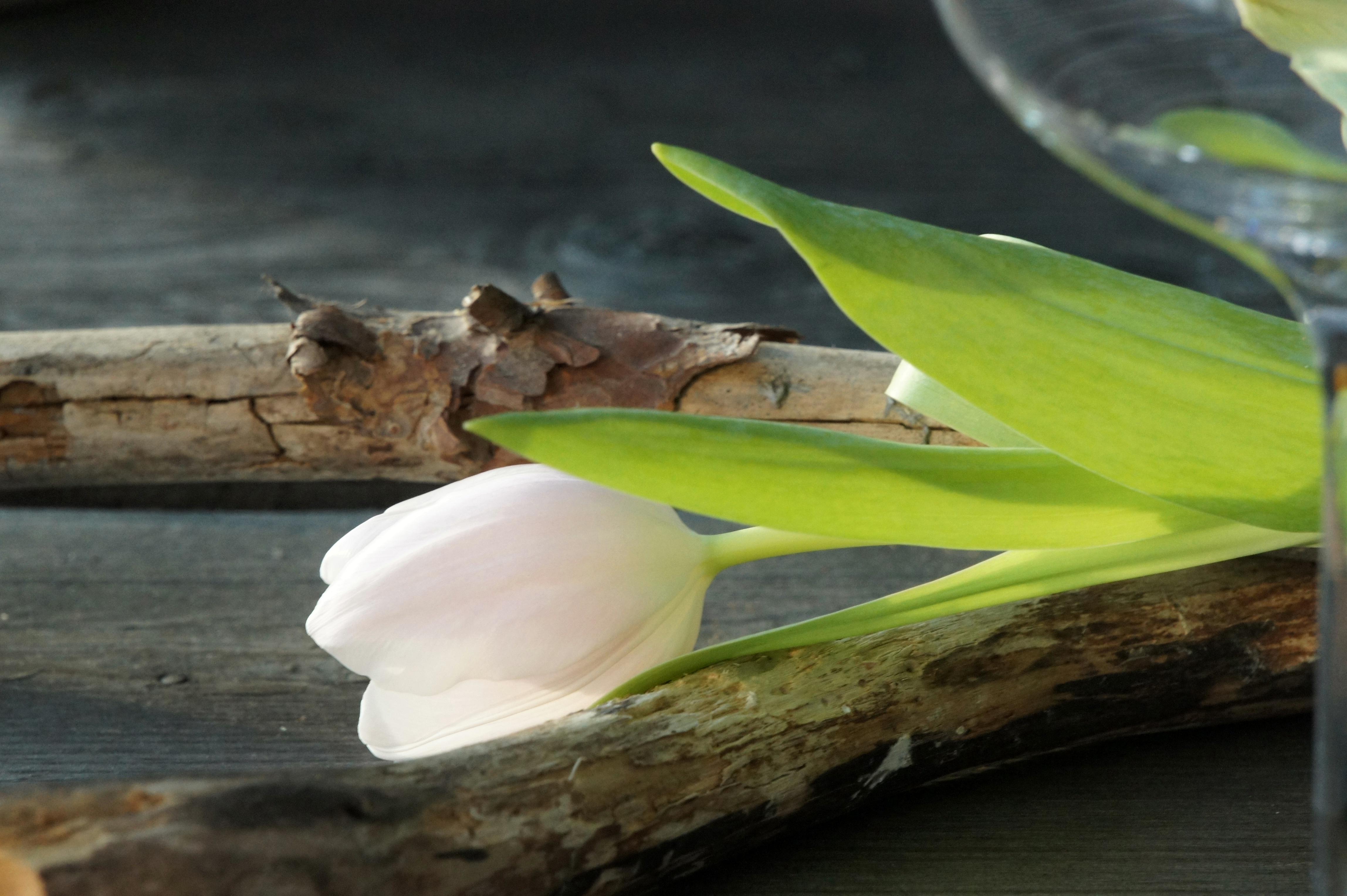 En ljust puderrosa tulpan på torra grenar