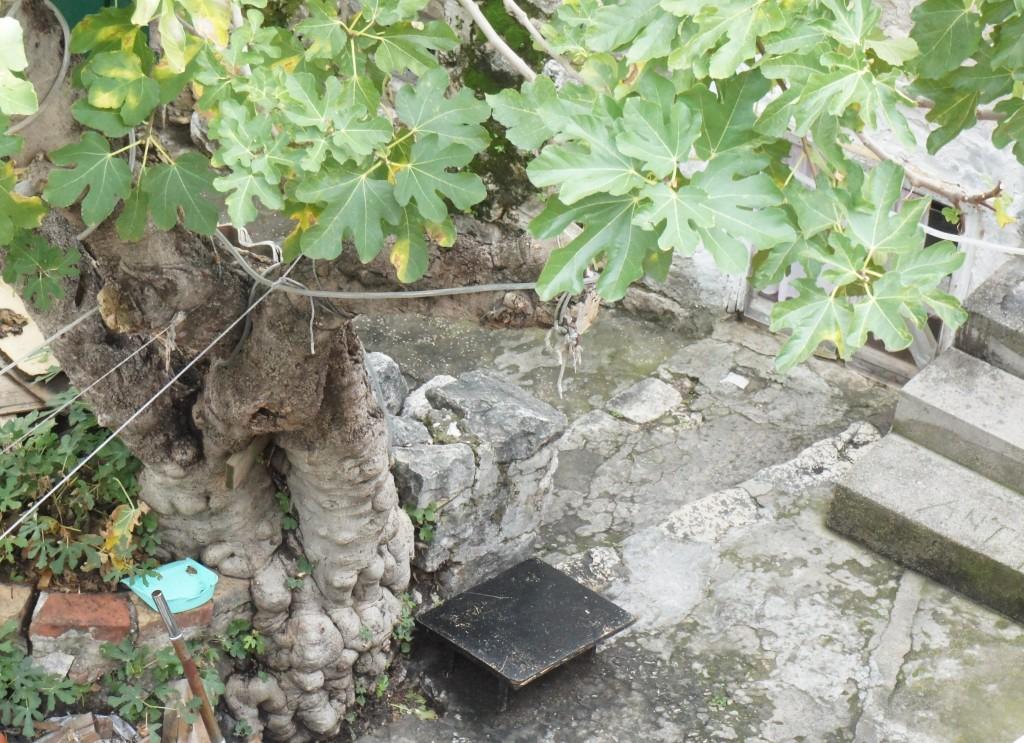 Känns ju lite löjligt med fikonträdet i krukan på terassen hemma