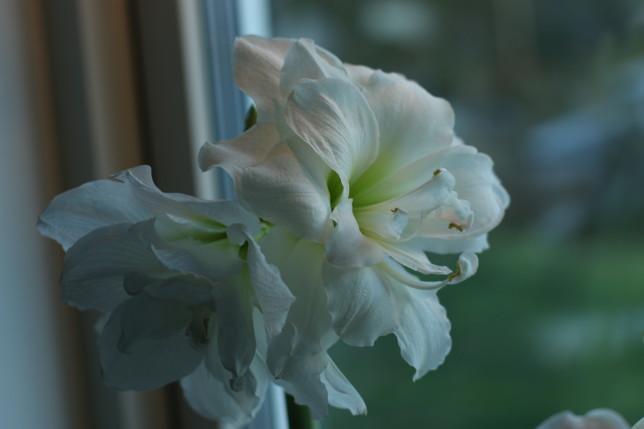 IMG_9641 amaryllis