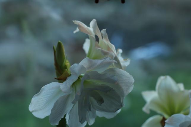IMG_9646 amaryllis