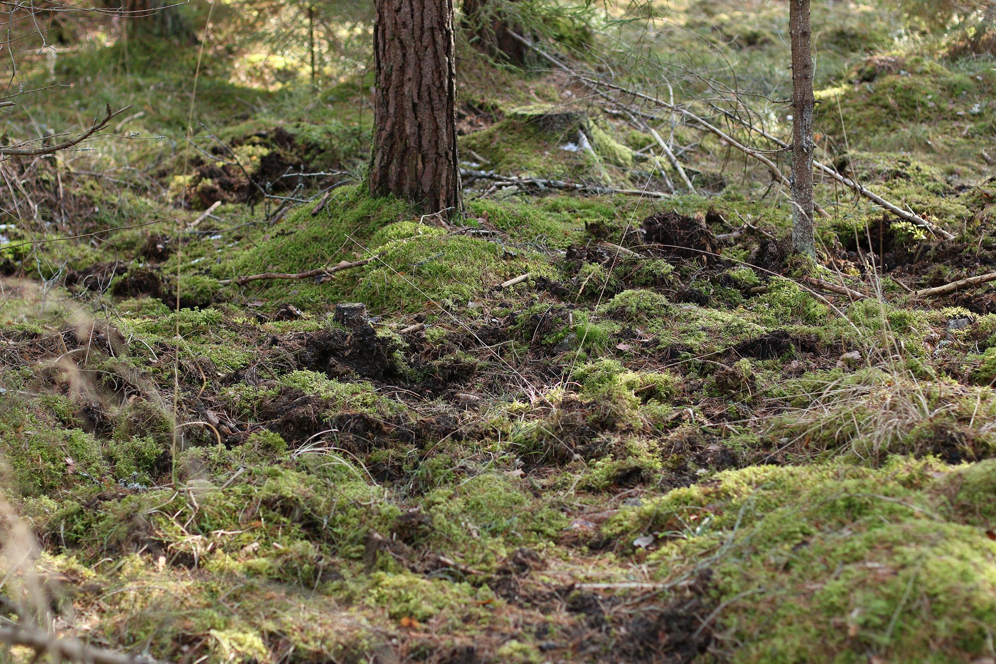 IMG_1235 skogen vildsvinsbök x