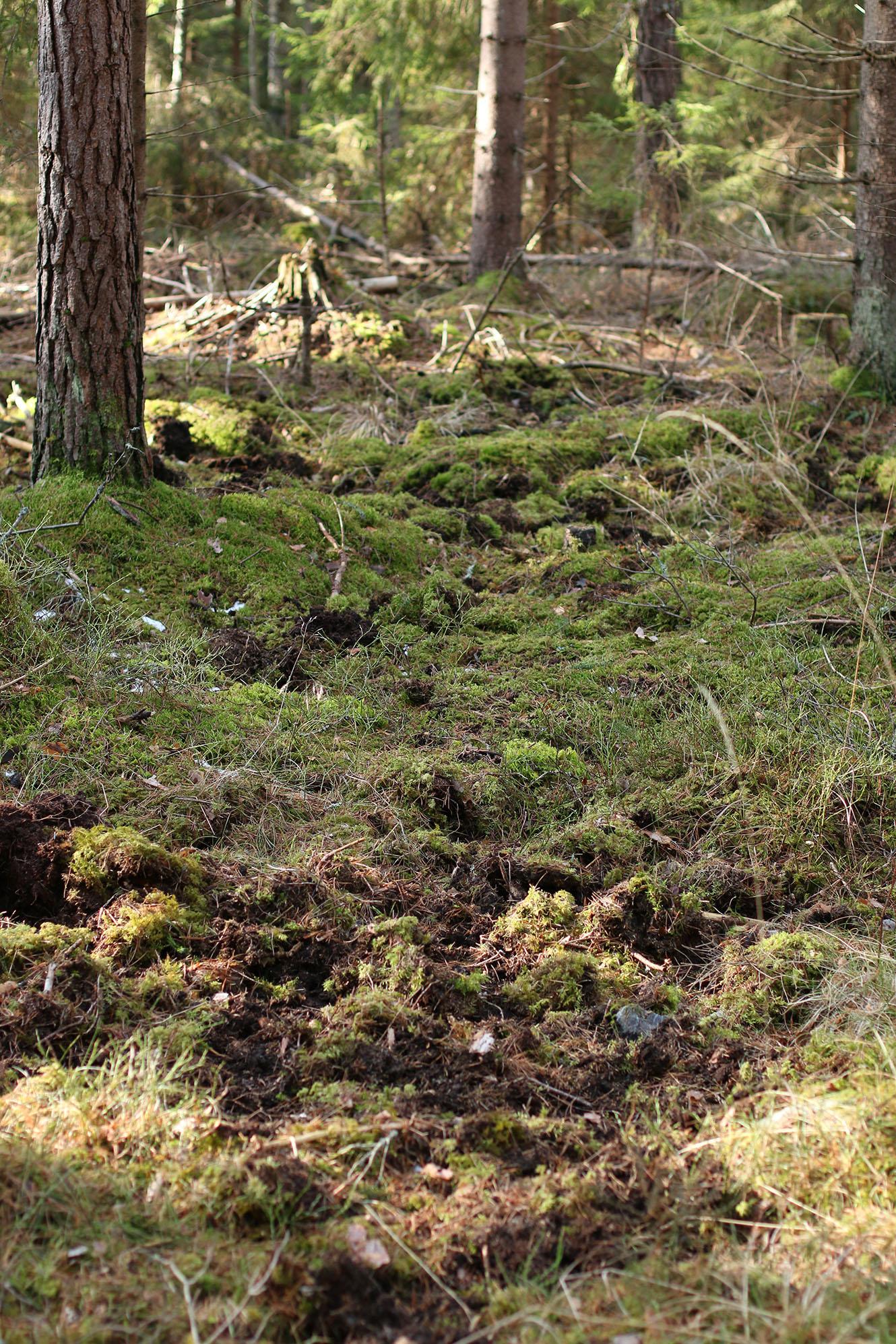 IMG_1239 skogen vildsvinsbök x