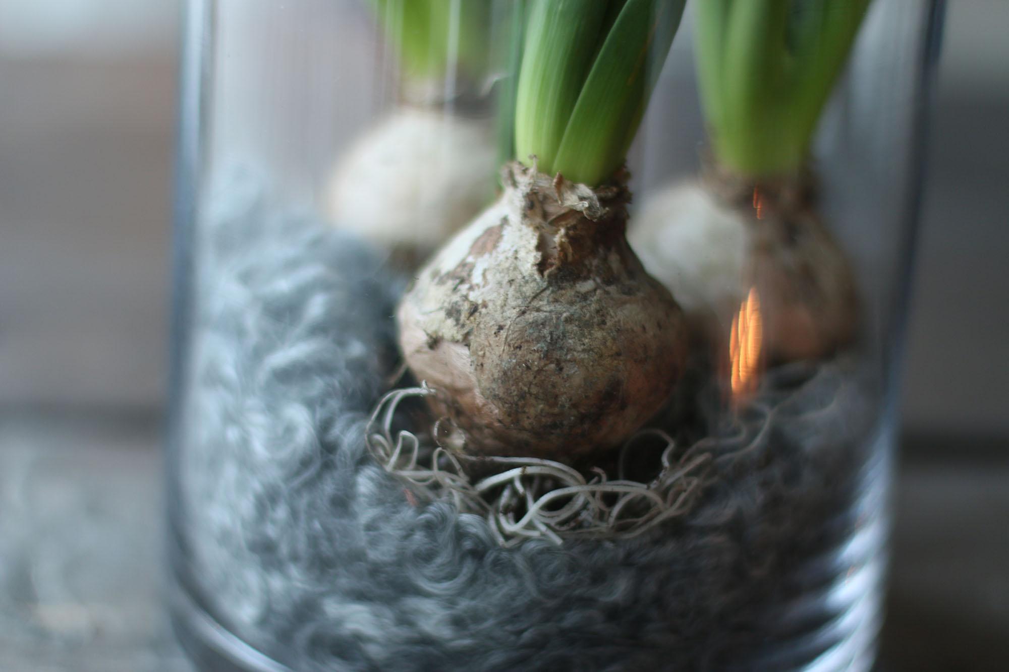 img_7616-hyacinter