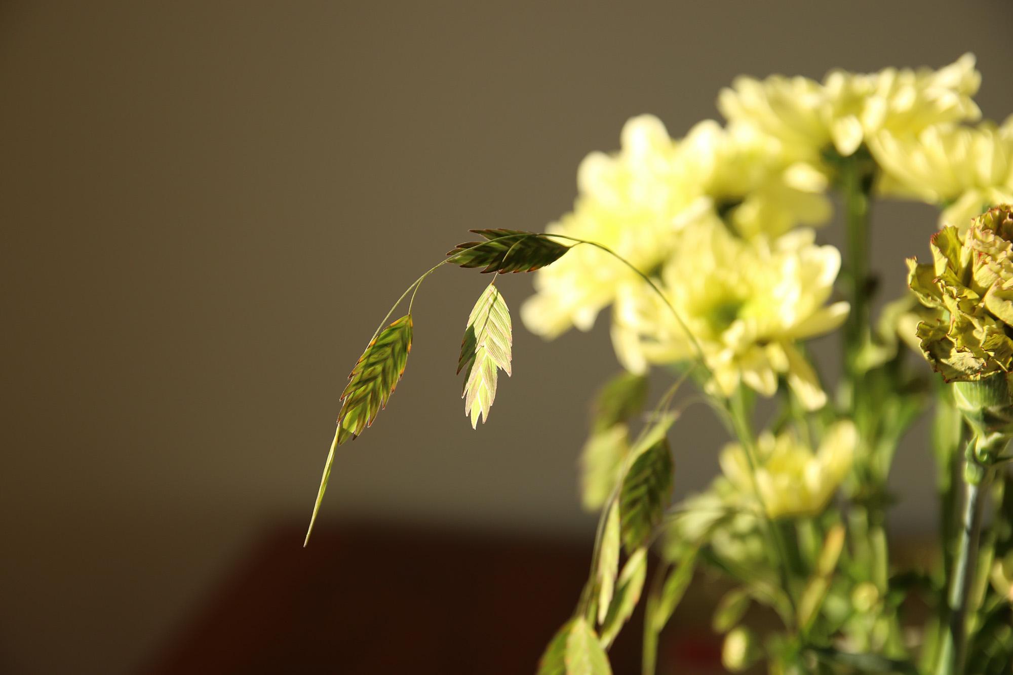 Kackerlacksgräs