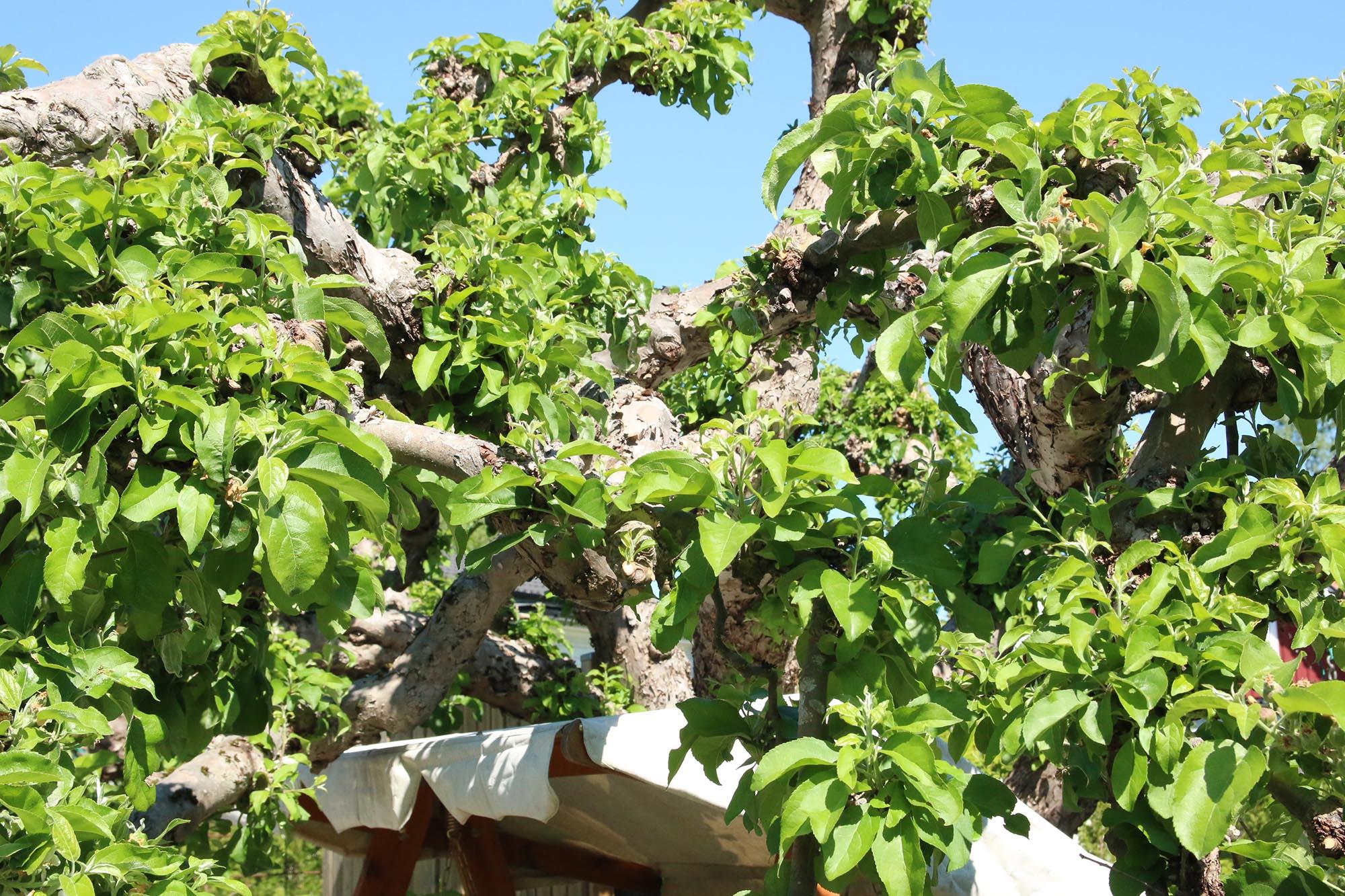 Ett vackert gammalt äppelträd i en vacker gammal trädgård
