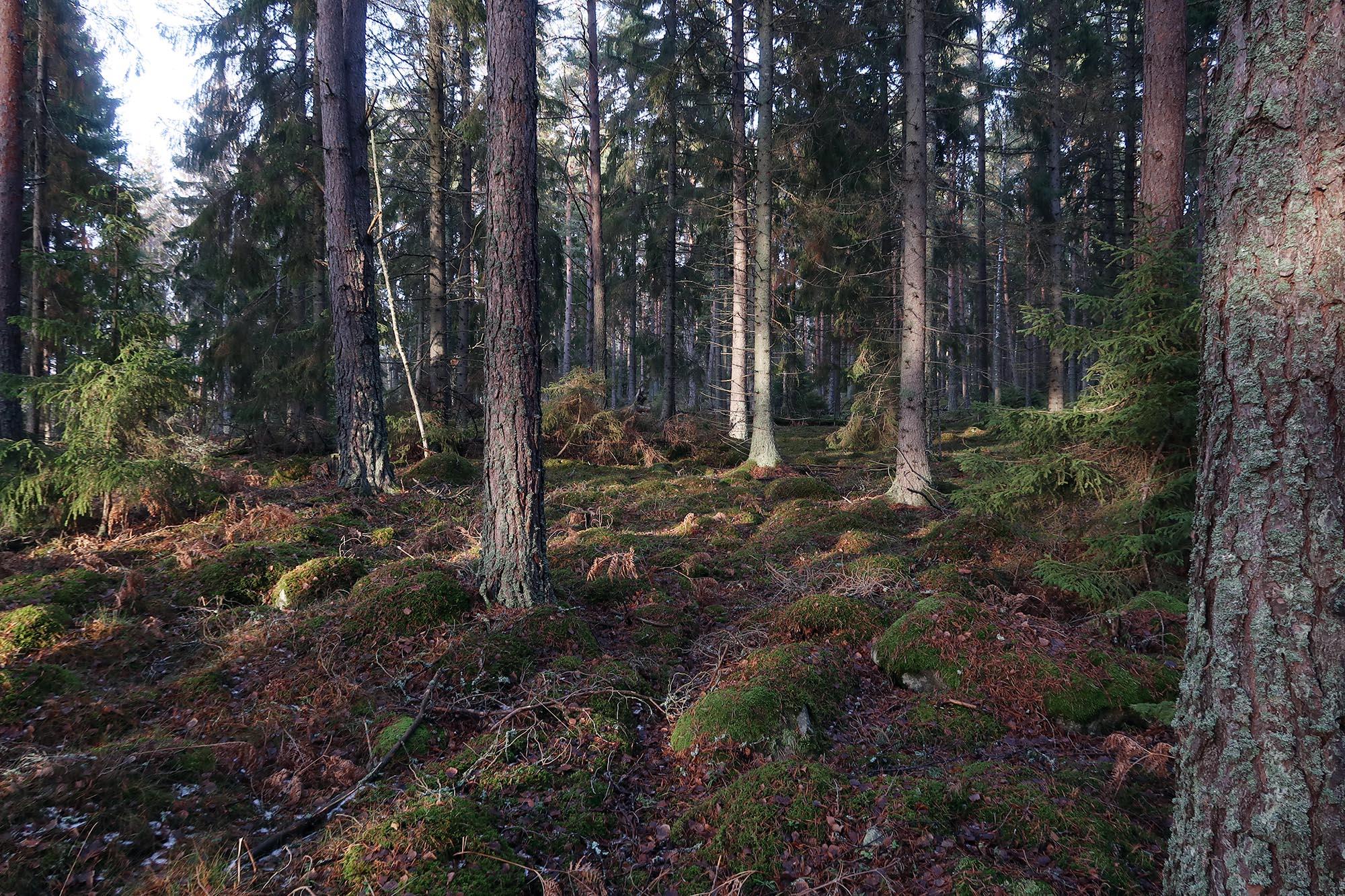 Vinterskog i vila