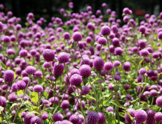 Vackra blommor i Botaniska trädgården i Montreal