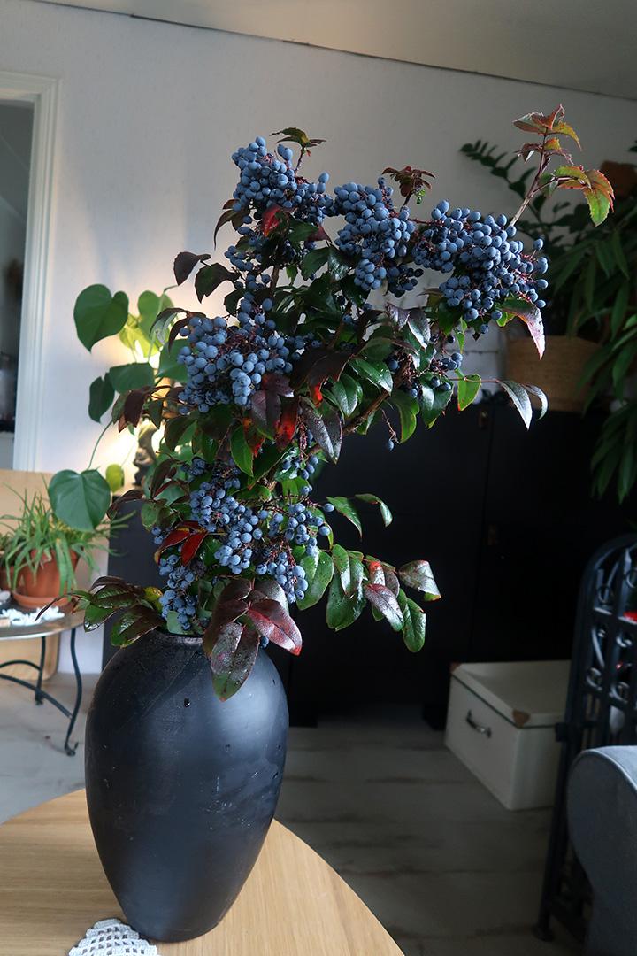 Vacker gren av Mahonia