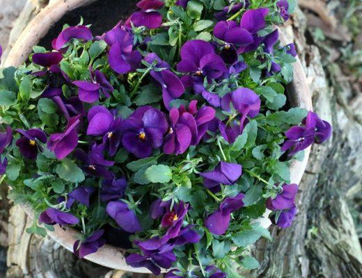 Vackra violer vid entrén.