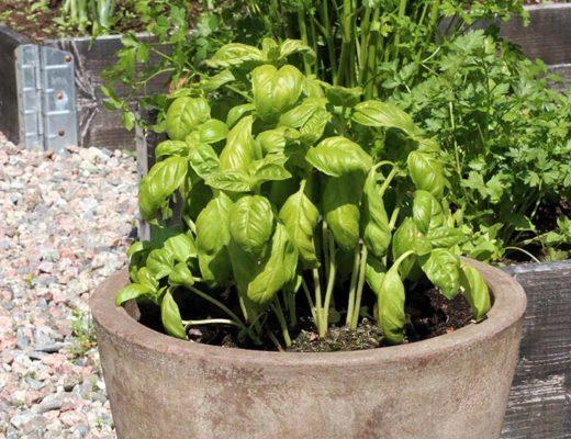 Den finaste växten i vår köksträdgård.