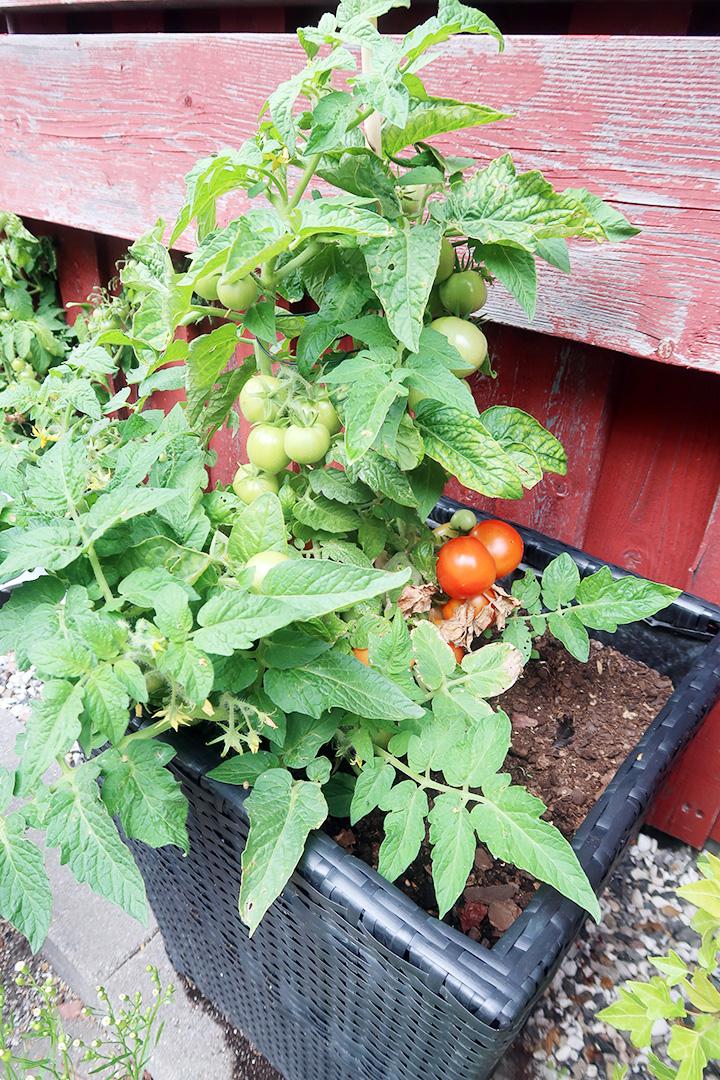 Undrar hur mycket tomaterna mognar medan vi besöker Värmland!